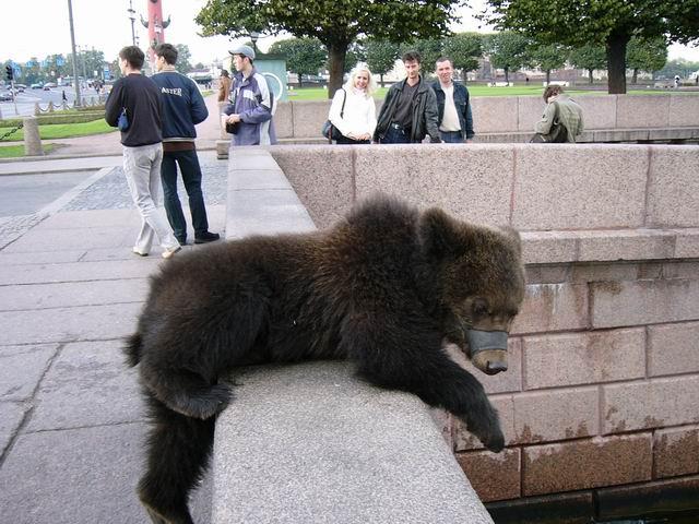 фотография медведя на берегу Невы