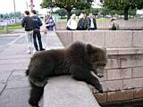 A photo of a bear on bank of the Neva river